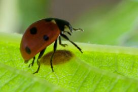ladybug with parasite wasp cocoon--narcissist as parasite