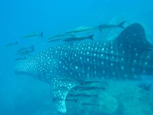 Diving Thailand - Whaleshark of Koh Tao