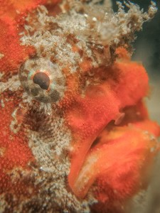 The Deep UW Photography Exhibition -Painted Frogfish, Antennarius pictus
