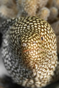 The Deep UW Photography Exhibition -white-mouth moray eel, Caesio xanthonota