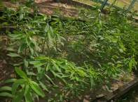 Use of Sunn-hemp in crop rotation for nematode control