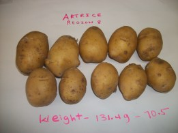 Irish Potatoes (Artrice variety) grown in open field Region 8