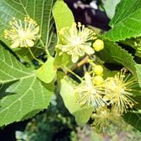 Цветы липы, они имеют уникальные лечебные свойства и почти не имеют противопоказаний