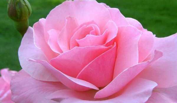 Remediile petalelor de trandafir pentru a pierde în greutate natural