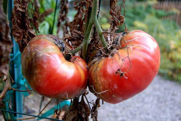 Самые эффективные методы борьбы с фитофторой на помидорах. Как защитить помидоры от фитофторы в теплице