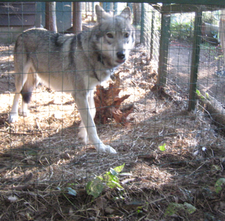 Cree, 3/4ths wolf and 1/4th sheppard