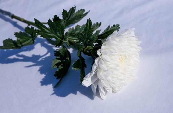1本の白い菊