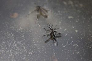 ジカ熱を媒介するヒトスジシマカ(蚊)