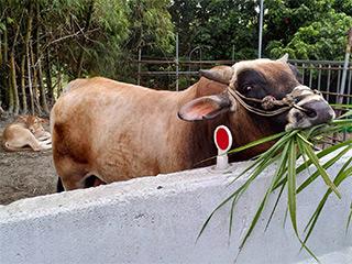 田寮區の山道には牛がいて、写真を取ったり餌をあげたりできます