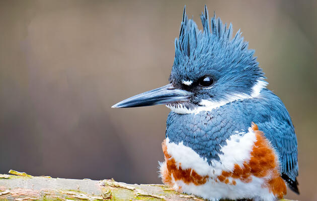 Belted Kingfisher Audubon Field Guide
