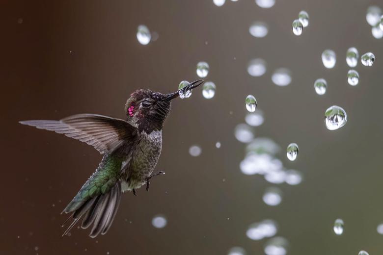 Anna's Hummingbird. Photo: Bibek Ghosh/Audubon Photography Awards