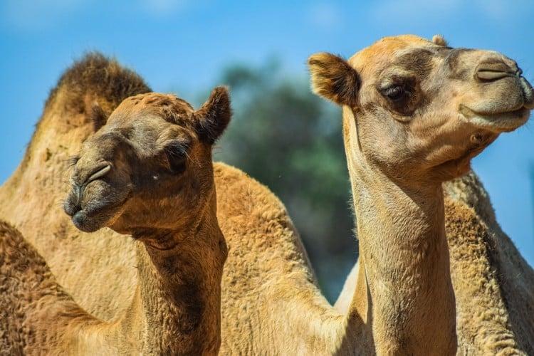 HOROR: Snajperisti će usmrtiti 10.000 kamila u Australiji 1