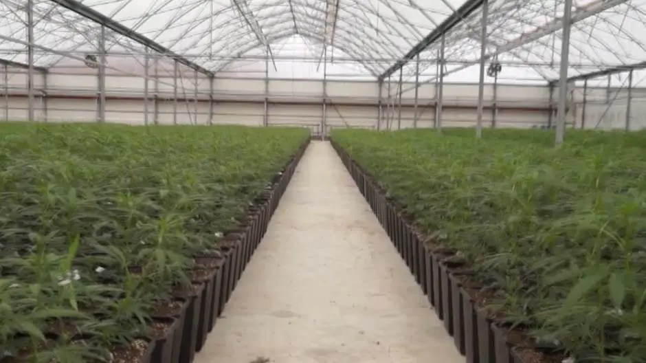Vučiću, kaži da je marihuana legalizovana i – nema Jovanjice! 1