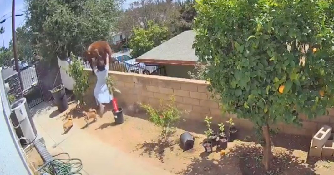 HRABROST: Tinejdžerka rukom odgurnula i oterala mečku da spase svoje pse! (VIDEO) 1