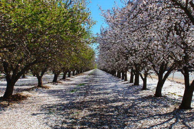 Blooming Almond Trees Credit Visit Bakersfield (12)
