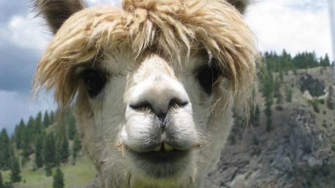 Lama als Trendmotiv für Süßwaren