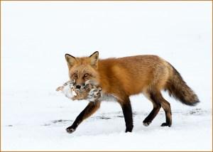 C22-jsenz-a1-Fox 1 Rabbit 0 - 3rd Place Animals