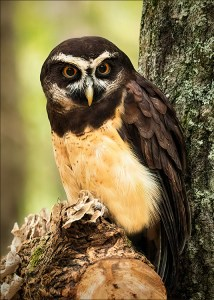 Dave Curtin - Spectacled Owl