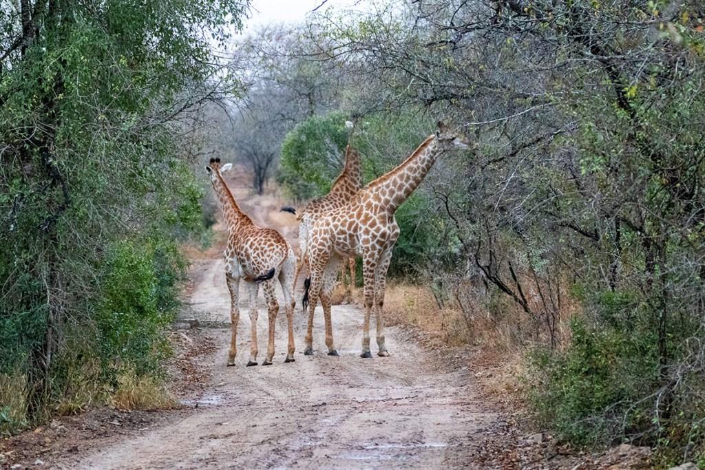 giraffe alla Mkhaya game reserve - tour sudafrica
