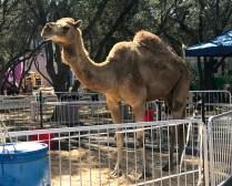 Sacramento County Fair Camel Rides