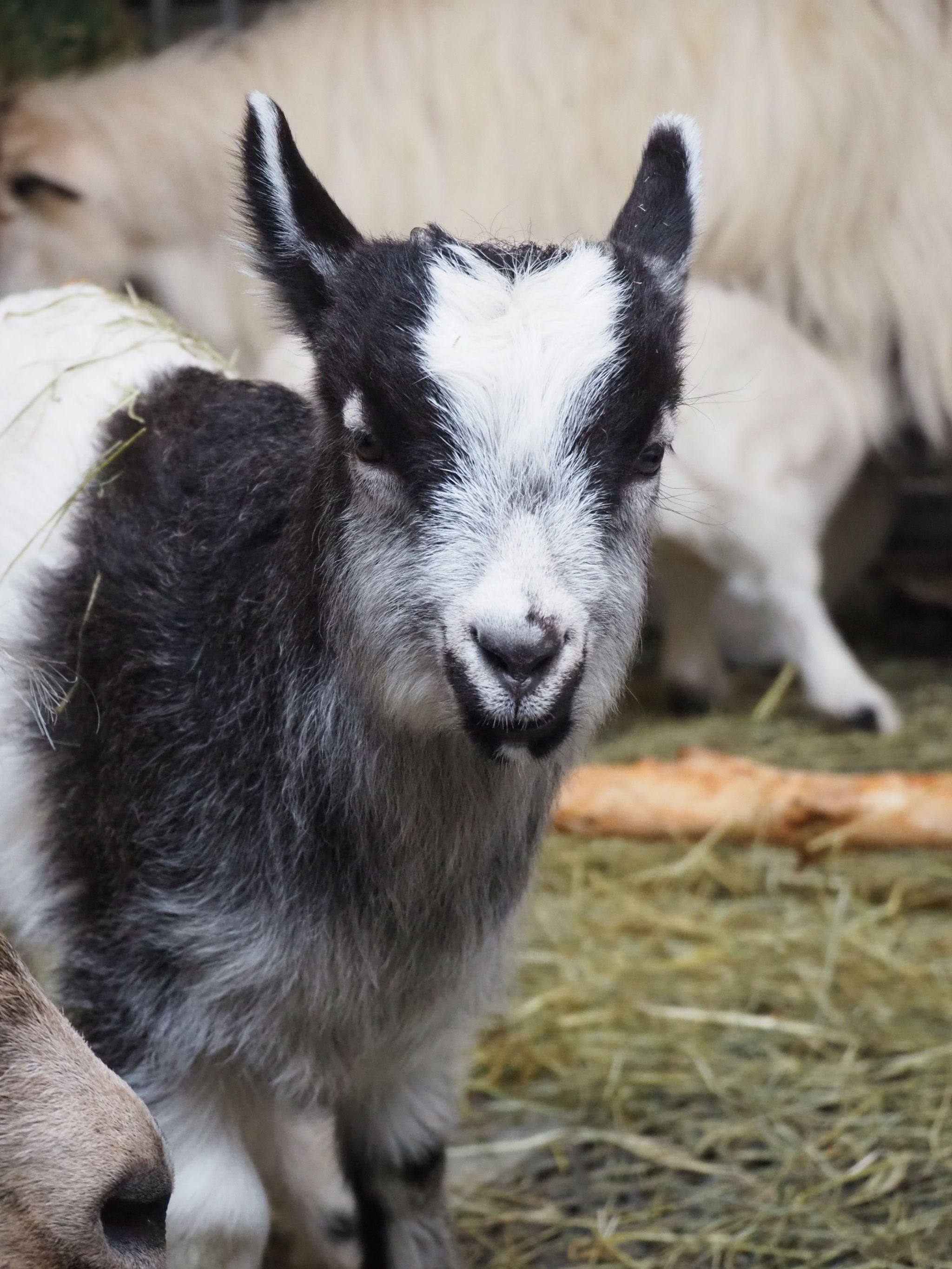 portrait of a baby goat