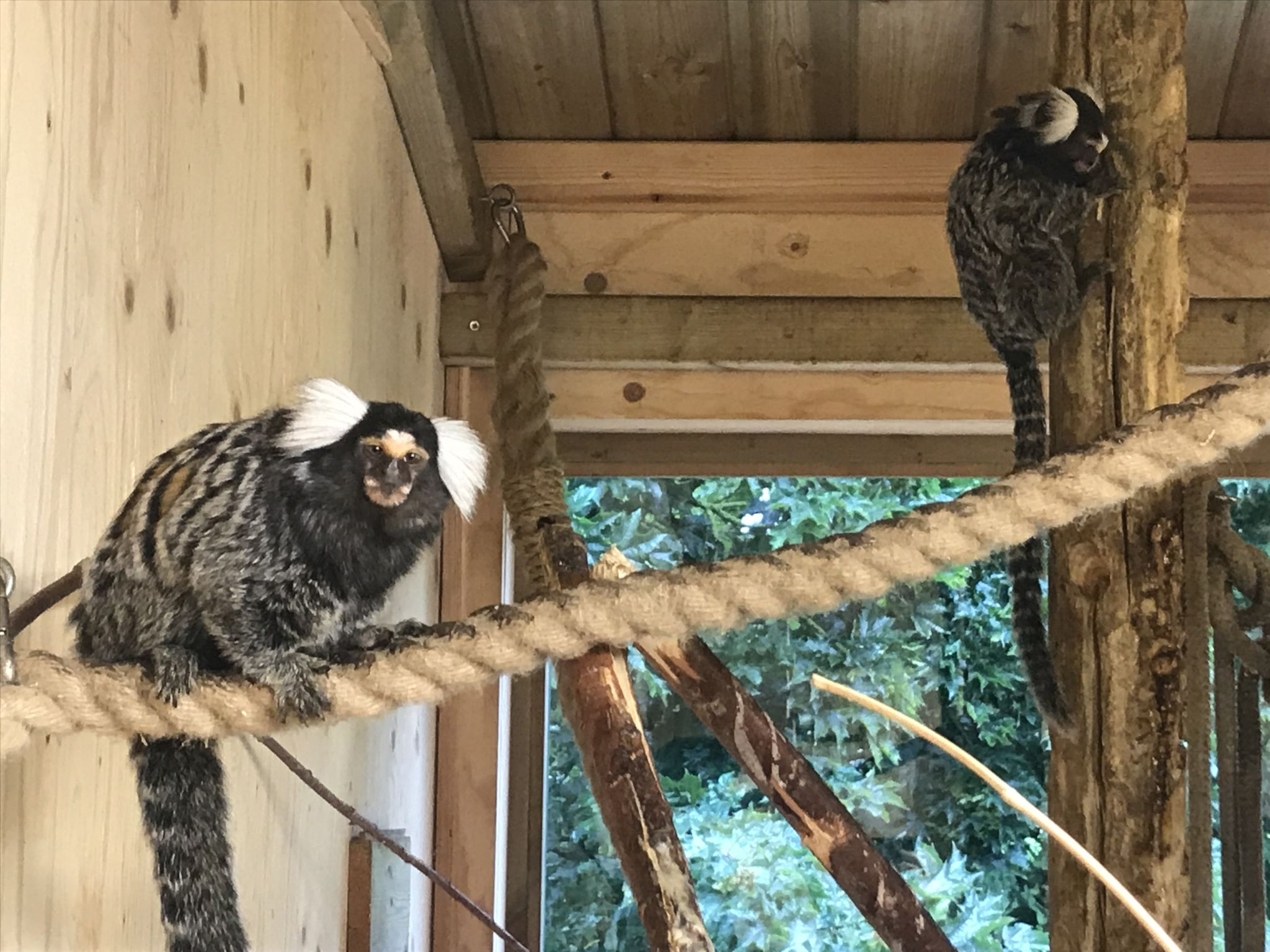 two climbing marmosets