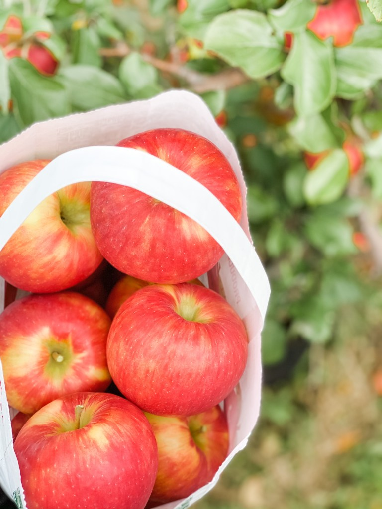Apple Picking at an Apple Orchard