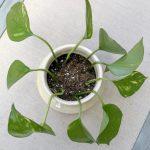 How To Propagate Pothos The Correct Way Urban Indoor Garden