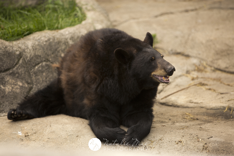 Black bear playing in the dirt at the Detroit Zoo.