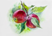 Apples on a branch. Watercolor painting