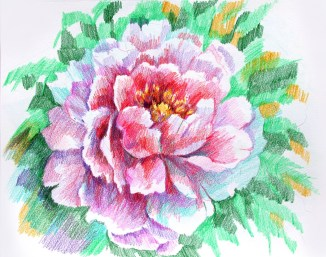 Peony. Colored pencil , paper.