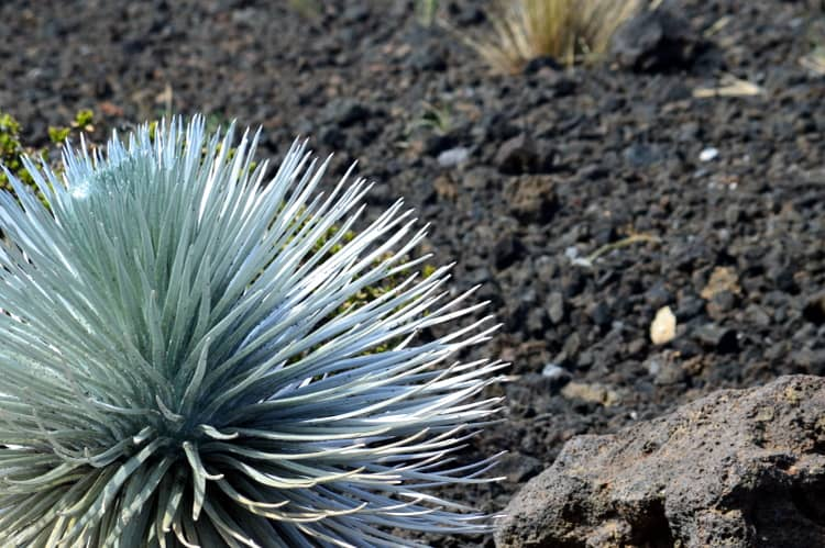Hawaiian Silversword
