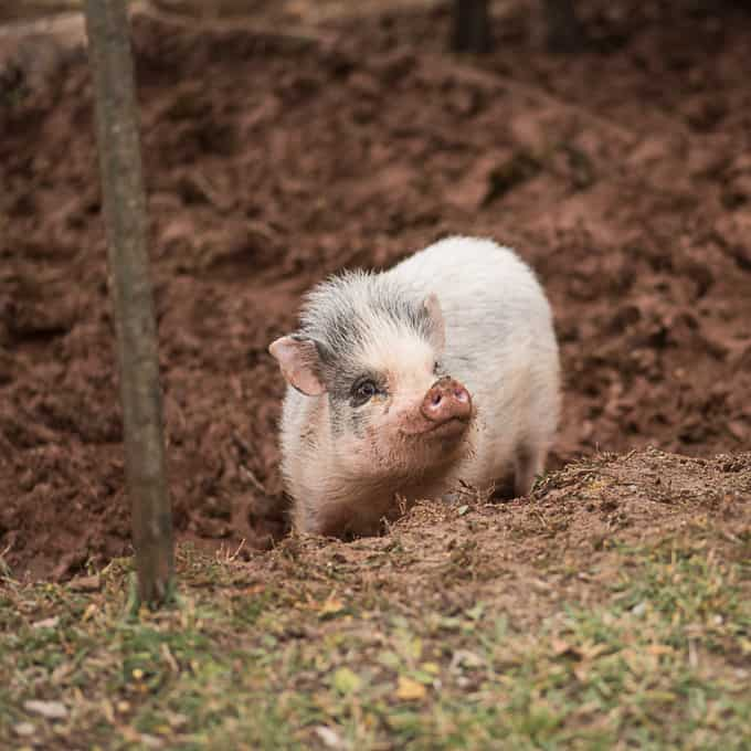 pet-pig