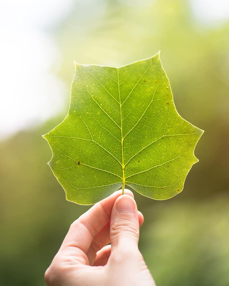 poplar leaf in golden hour
