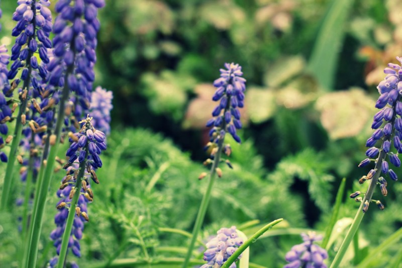 flowers-lupines