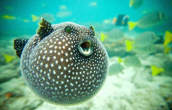 a-to-z-challenge-2017-travel-epiphanies-natasha-musing-D-dive-to-heaven-puffer-fish