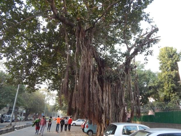 Thursday-tree-love-natasha-musing-tree-of-life-banyan