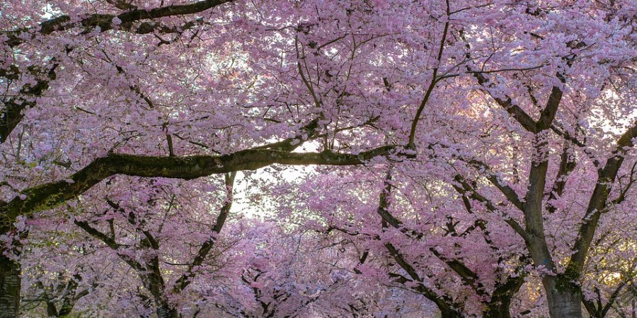 thursday-thoughts-natasha-musing-the-philosophers-path-a-walking-trail-in-koyoto-cherryblossoms