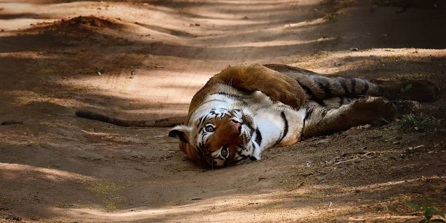 wordless-wednesday-natasha-musing-elusive-encounters-tiger