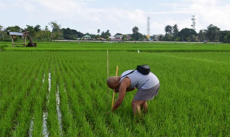 Ritche Nuevo measures a rice plant at a field in Argao, Philippines. (Courtesy R. U. Nuevo)