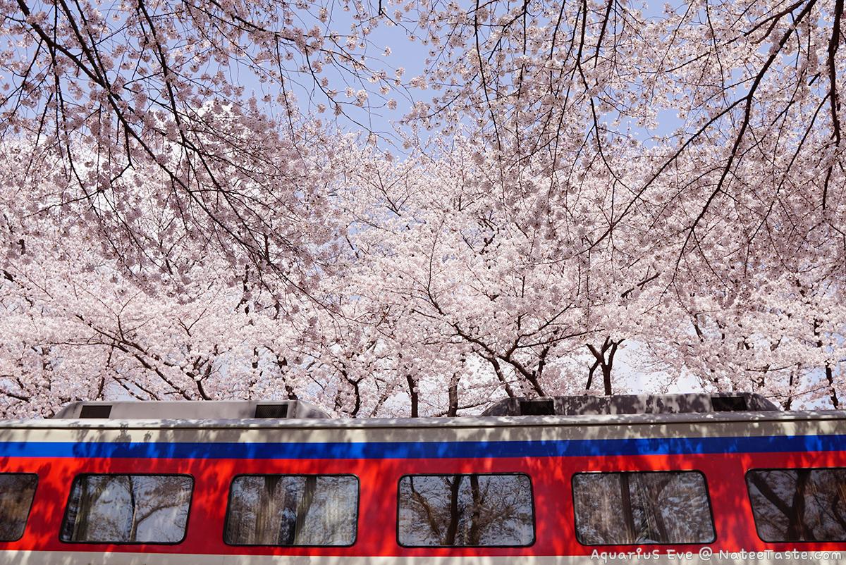 Jinhae-Cherry-Blossom-2018-Gyeonghwa-Station-02