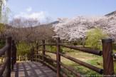 Jinhae-Cherry-Blossom-2018-Jinhae-NFRDI-Environment-Eco-Park-07