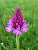 This pyramidal orchid grows in the Rough Bank conservation area in the southwestern county of Gloucestershire, England. Photograph by Andrew Smith, courtesy Wikimedia. CC-BY-SA-2.0