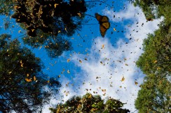 It takes monarchs about two months to migrate to Mexico. It's important to remember that monarch migration consists of several generations—the butterflies that finish a migration are not the butterflies that began it. Photograph by Joel Sartore, National Geographic