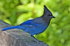 """Steller's jays like this one are just one species identified as """"blue jays."""" But are they really """"blue frauds""""? Photograph by Alan D. Wilson, courtesy Wikimedia. CC-BY-SA-3.0"""