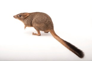 We didn't know what this was, either. It's a woylie, a type of bettong. And yes, another marsupial. Photograph by Joel Sartore, National Geographic Photo Ark