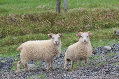 Partout des moutons.. et toujours deux petits avec leur maman