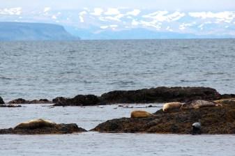 Des phoques sur la péninsule de Vatnsnes
