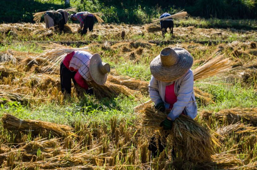 Farmers harvesting rice. Mae Hong Son, Thailand. Image for Mindful Photography