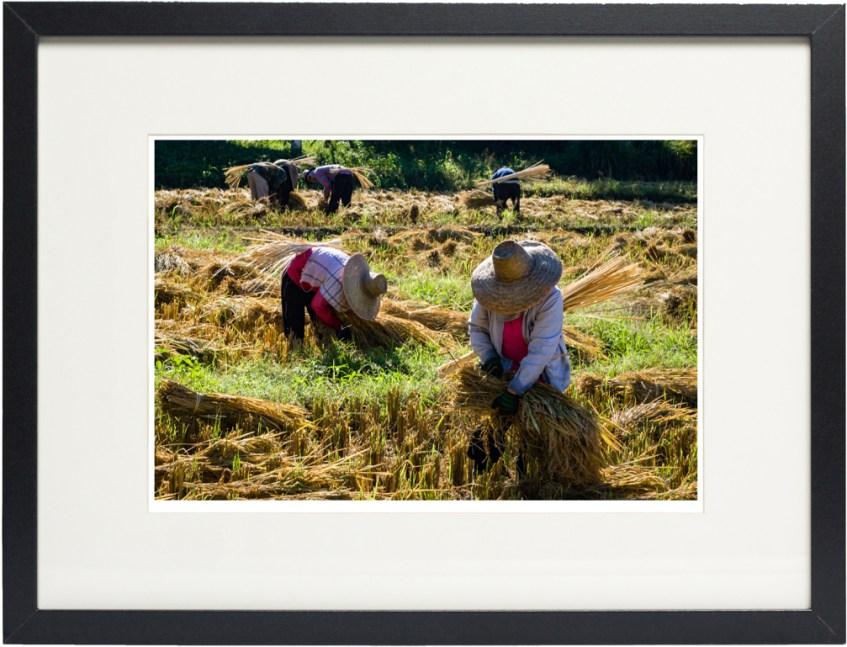 Fine Art Print Rice Harvesting In Picture Frame